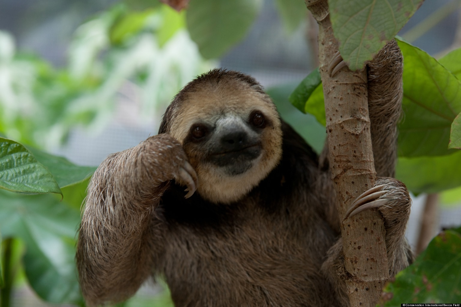 Sloth widescreen wallpapers