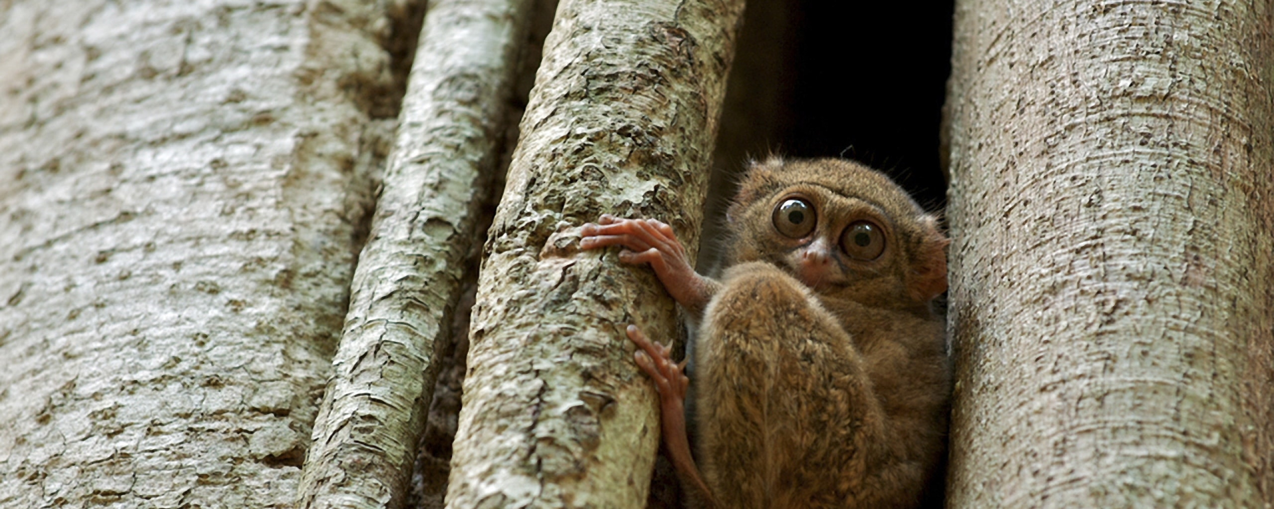 Tarsier widescreen wallpapers