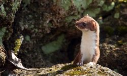 Weasel widescreen wallpapers