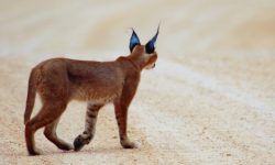 Caracal for mobile