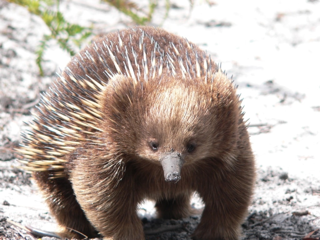 Echidna for mobile