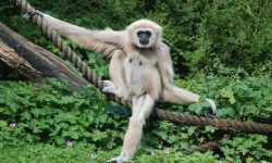 Gibbon for mobile