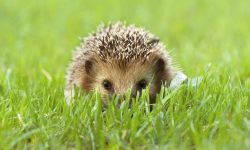 Hedgehog for mobile
