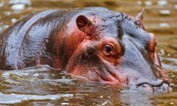Hippopotamus for mobile