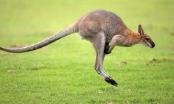 Kangaroo for mobile