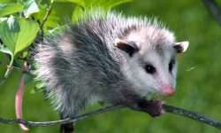 Opossum for mobile
