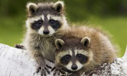 Raccoon for mobile