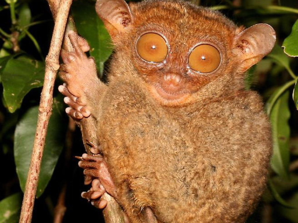 Tarsier for mobile