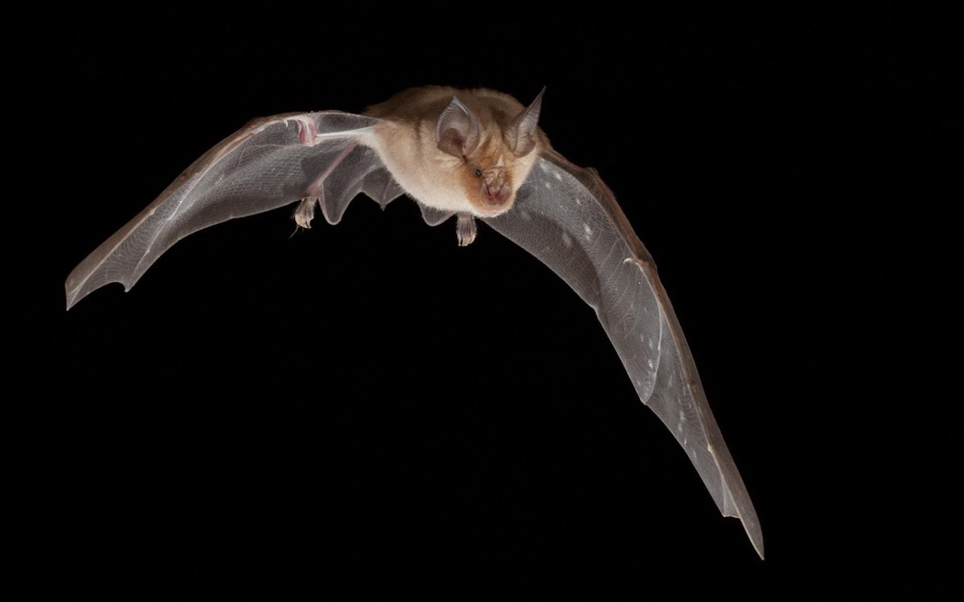 Bat widescreen for desktop
