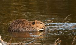 Beaver widescreen for desktop