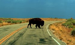 Bison widescreen for desktop