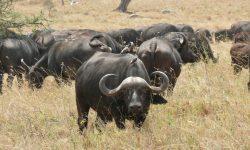 Buffalo for mobile