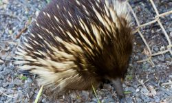 Echidna widescreen for desktop