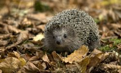 Hedgehog widescreen for desktop