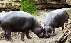 Hippopotamus widescreen for desktop