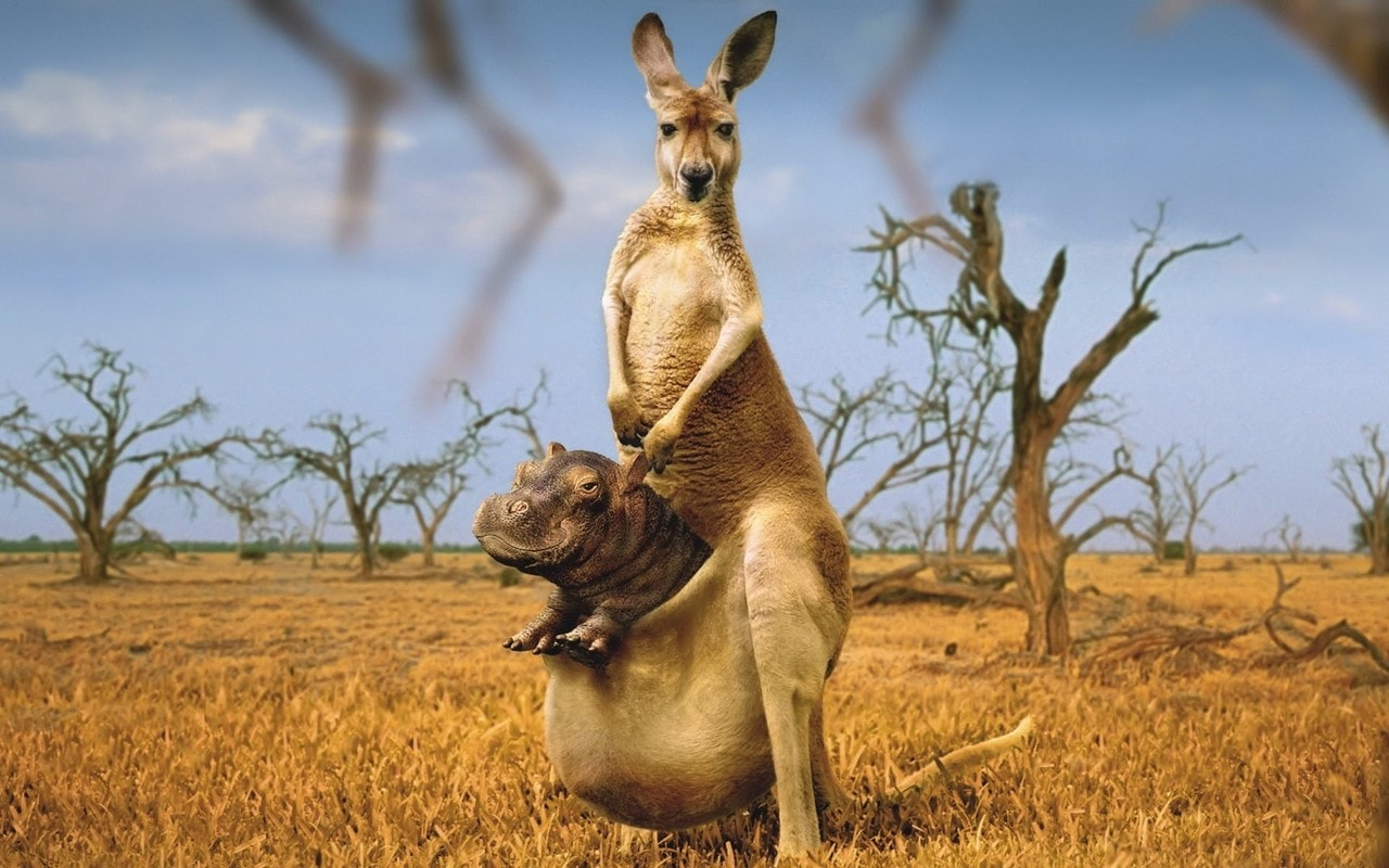 Kangaroo widescreen for desktop