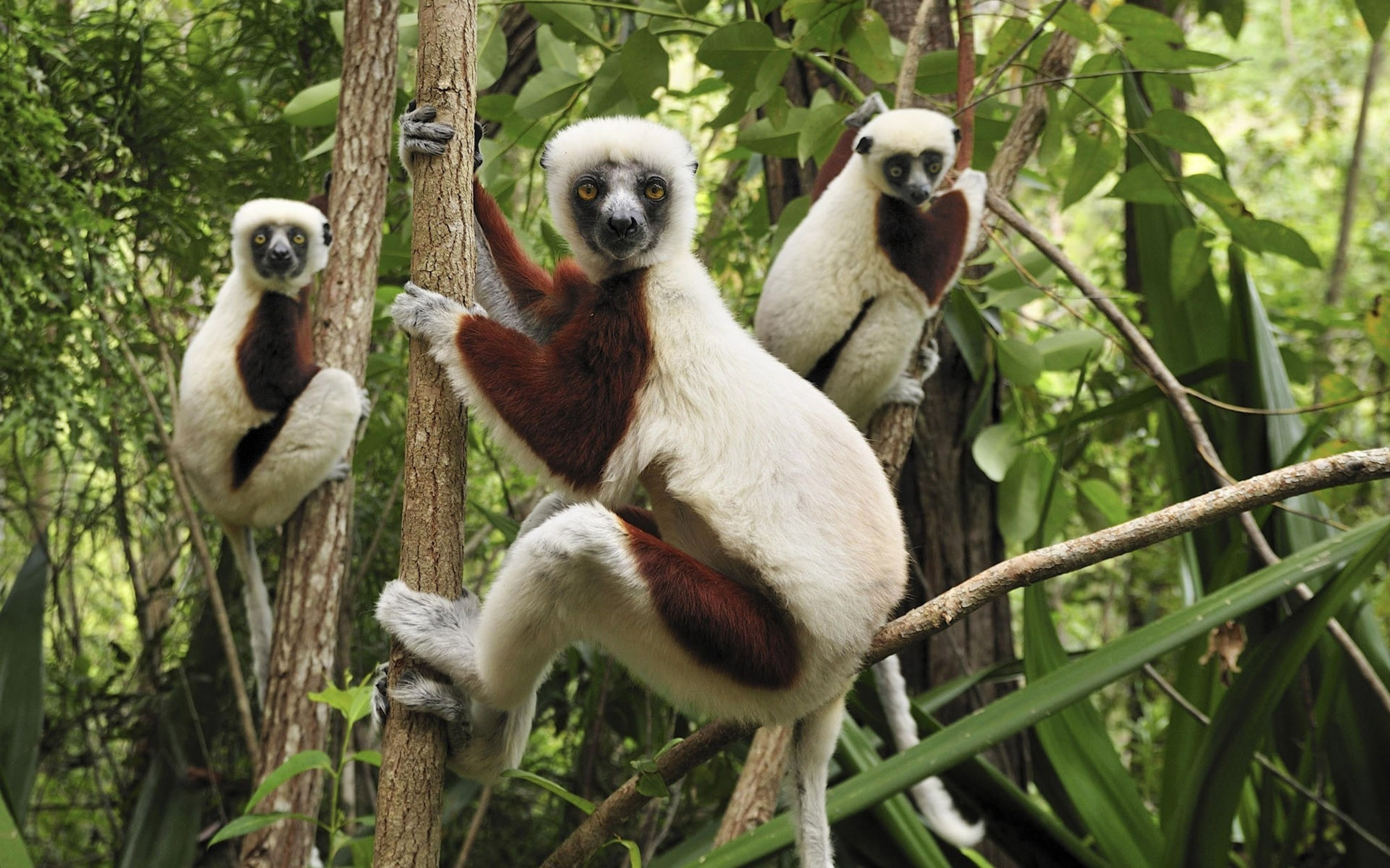 Lemur widescreen for desktop