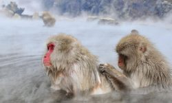 Macaque widescreen for desktop