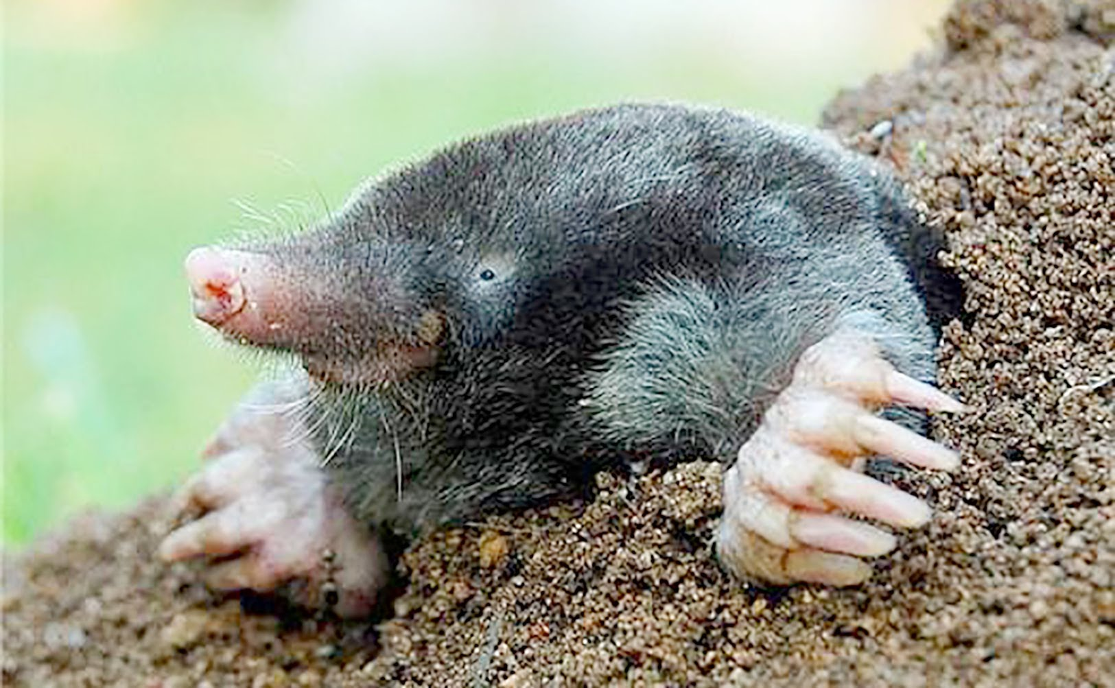 Mole widescreen for desktop
