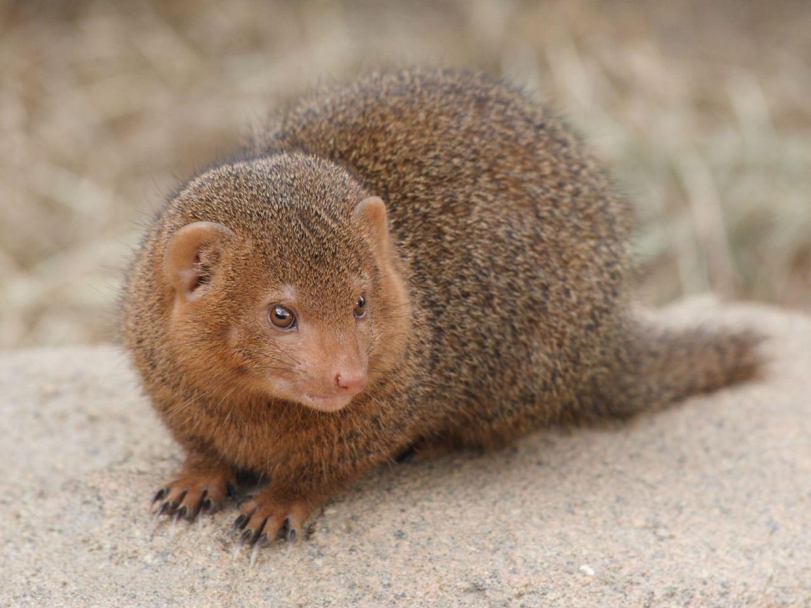 Mongoose widescreen for desktop