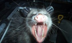 Opossum widescreen for desktop