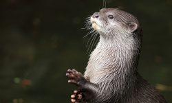 Otter widescreen for desktop