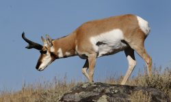 Pronghorn widescreen for desktop