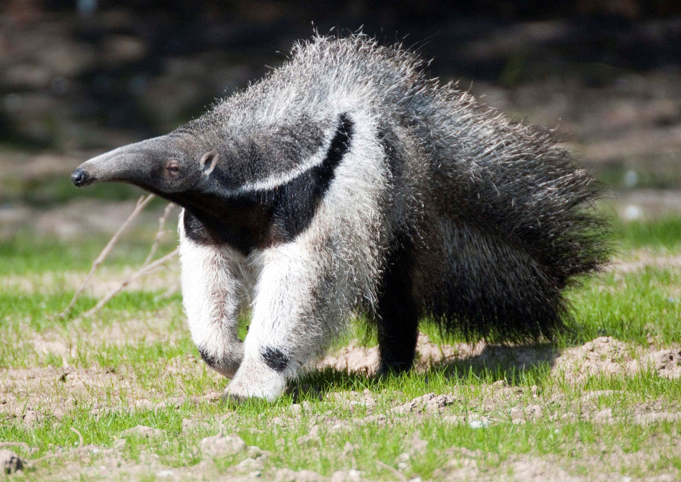 Ant-Eater widescreen for desktop