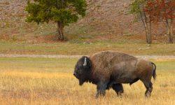 Buffalo widescreen for desktop