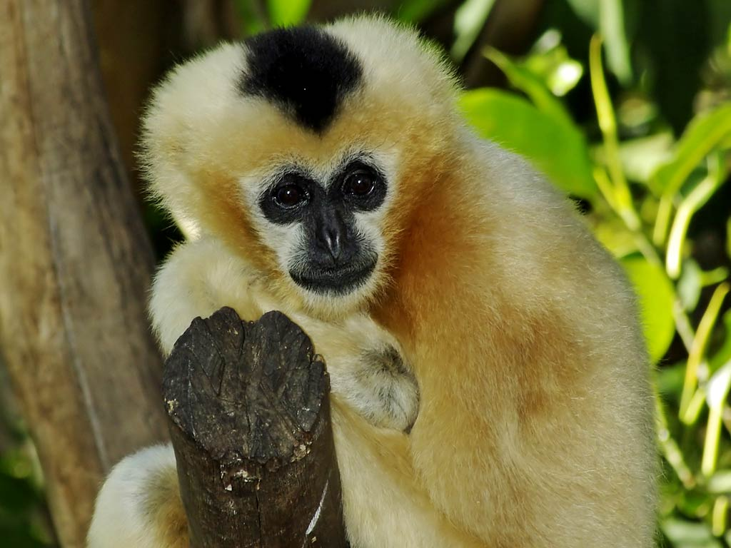 Gibbon desktop wallpaper