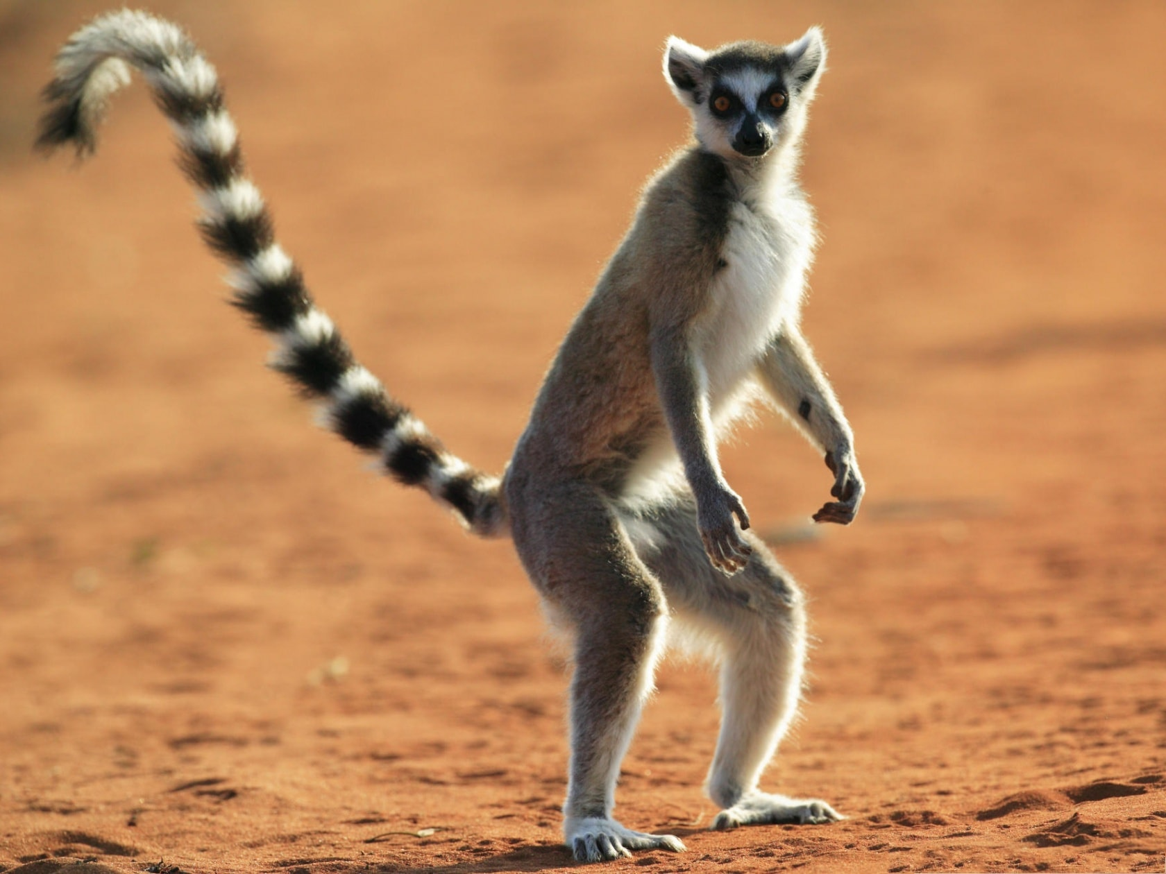 Lemur High