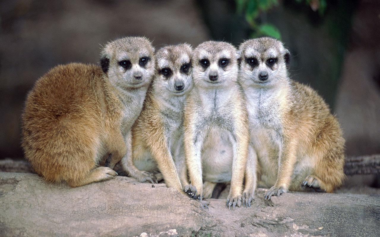 Mongoose desktop wallpaper