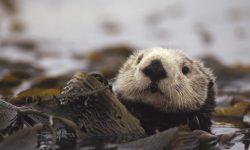 Otter desktop wallpaper