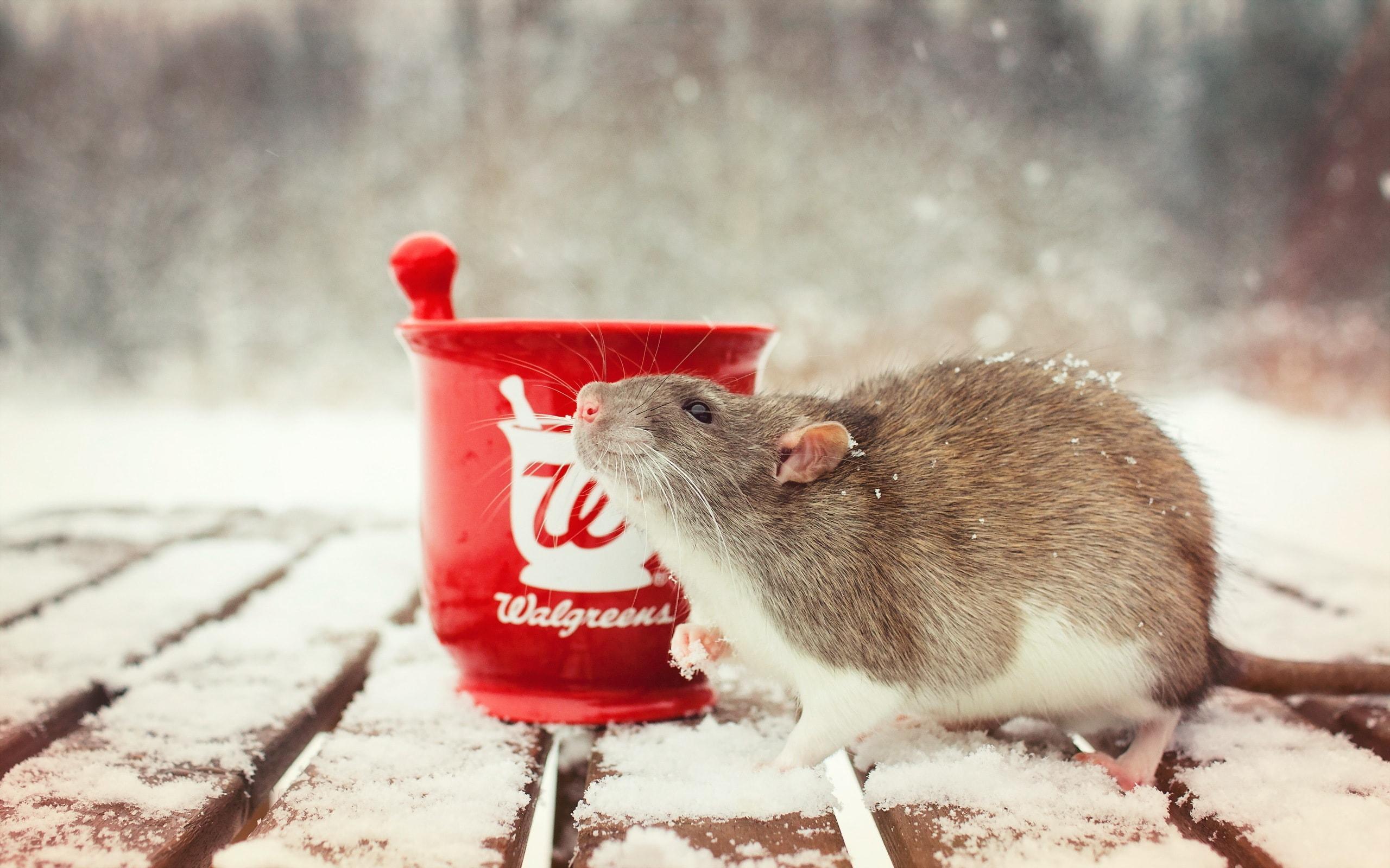 Rat desktop wallpaper