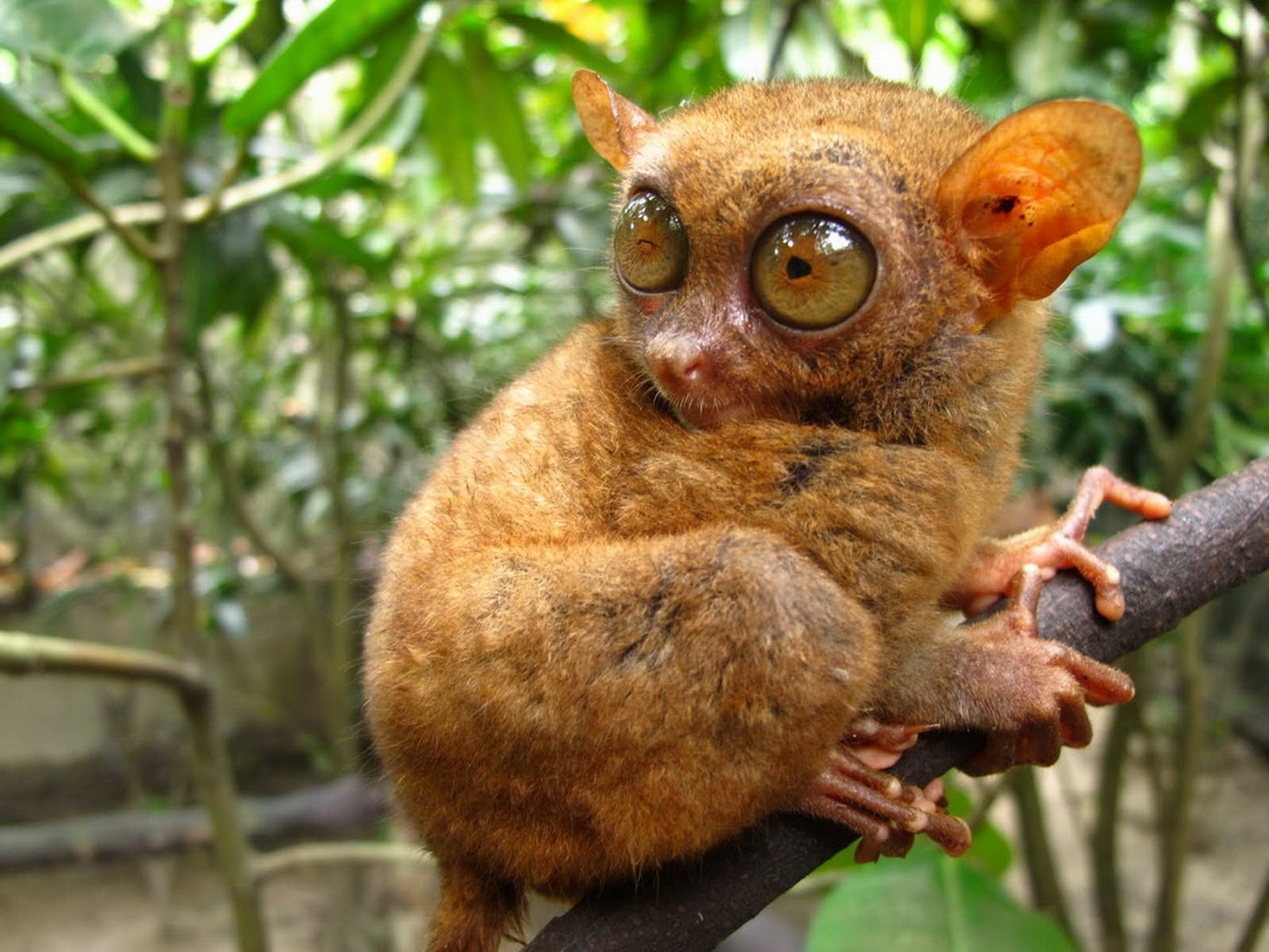Tarsier desktop wallpaper