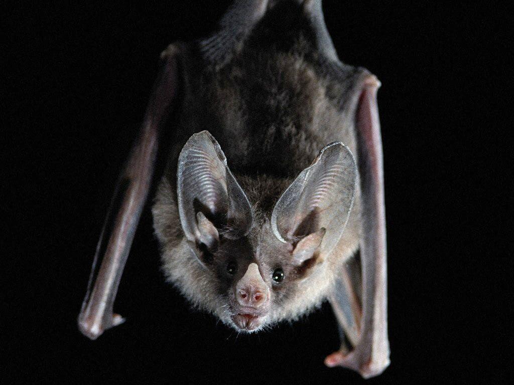Bat Wide wallpapers
