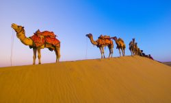 Camel Wide wallpapers