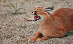 Caracal Wide wallpapers