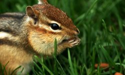 Chipmunk Wide wallpapers