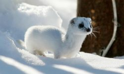 Ermine widescreen