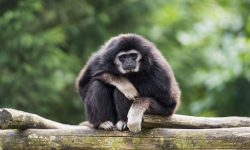 Gibbon Wide wallpapers