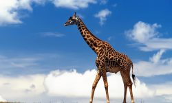 Giraffe Wide wallpapers