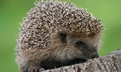 Hedgehog Wide wallpapers