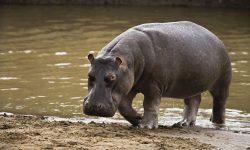 Hippopotamus Wide wallpapers