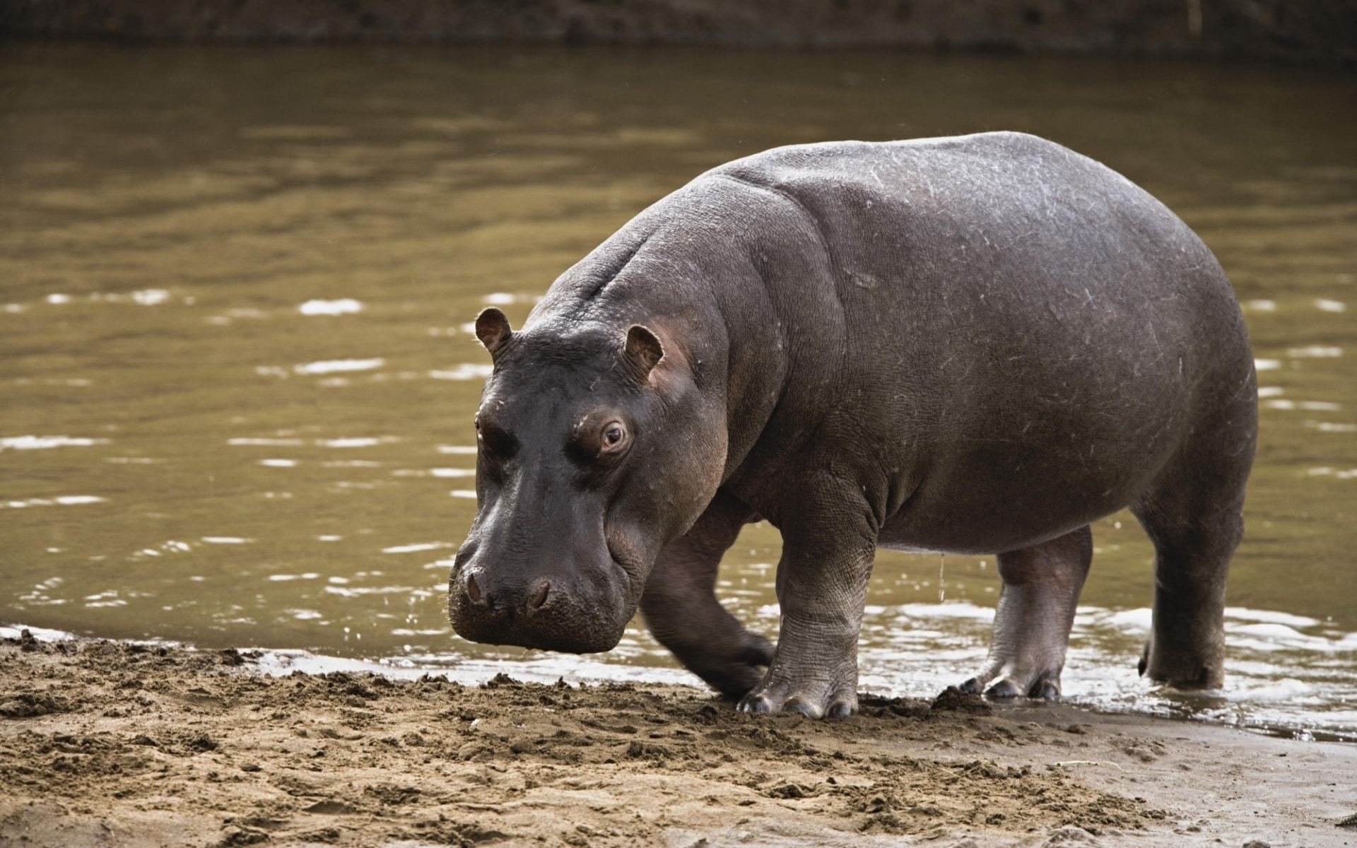 Hippopotamus Wide wallpapers