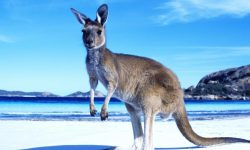 Kangaroo Wide wallpapers