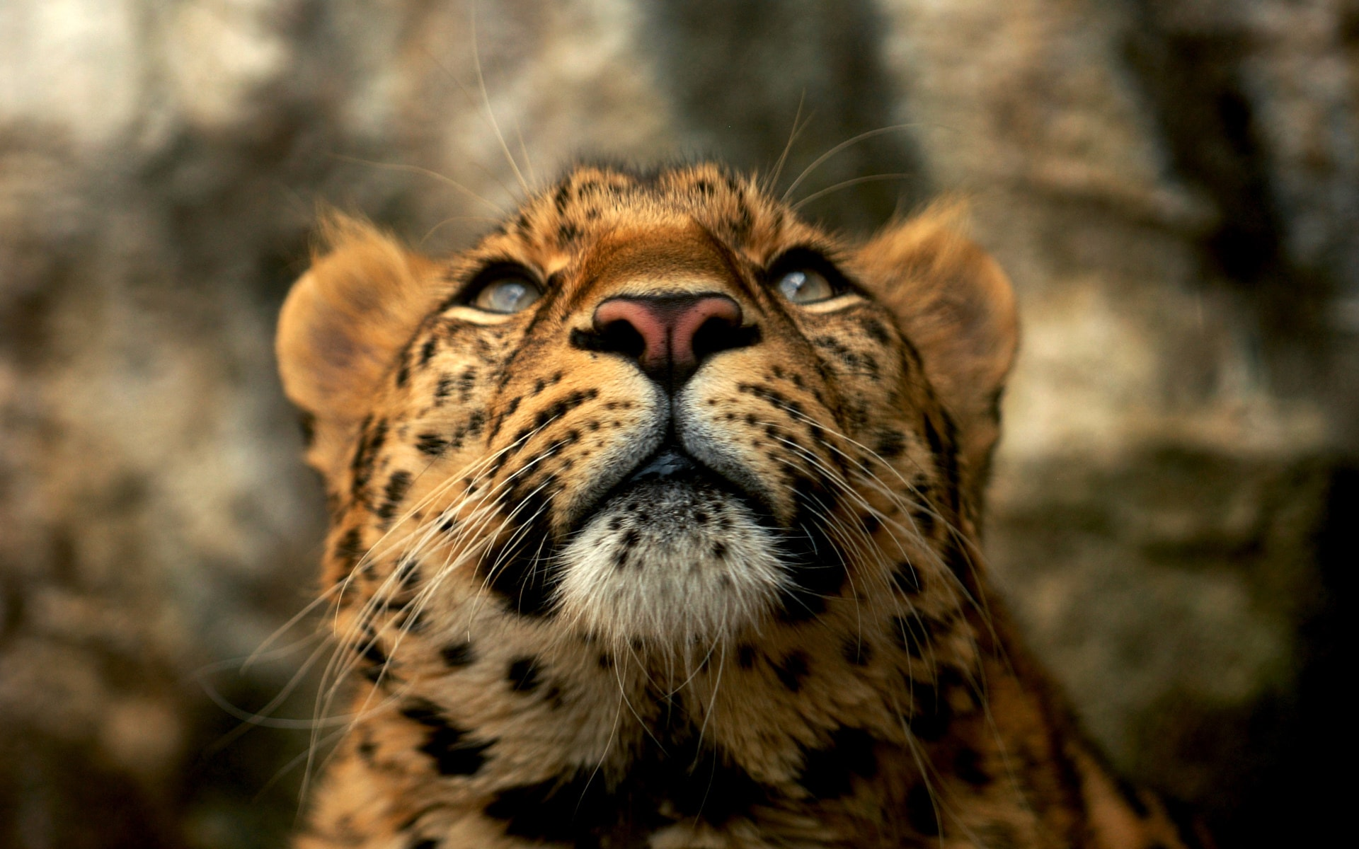 Leopard Wide wallpapers