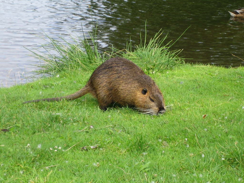 Nutria widescreen