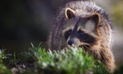 Raccoon Wide wallpapers
