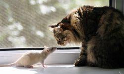 Rat Wide wallpapers